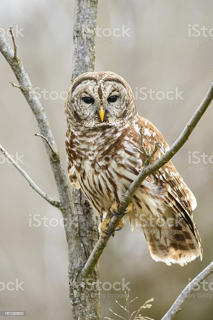 Barred owl looking at you stock photo