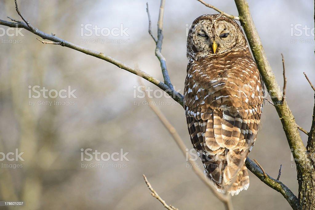 Barred owl looking backwards royalty-free stock photo
