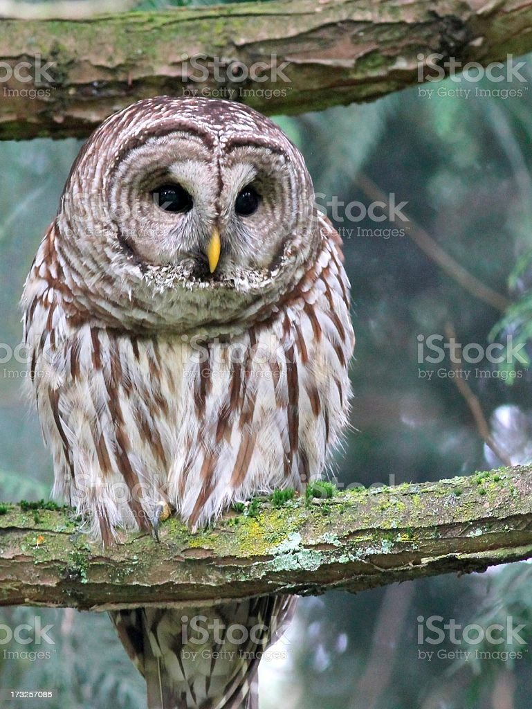 Barred Owl Looking Down stock photo