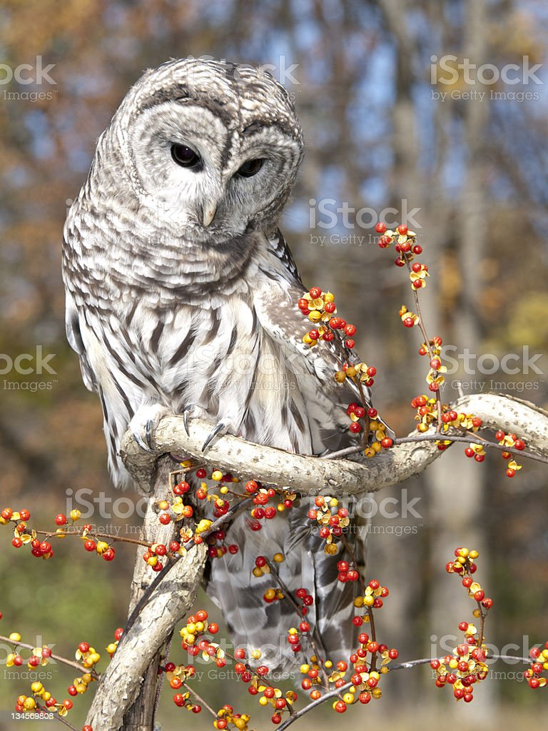 Barred Owl looks down stock photo