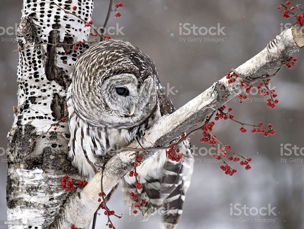 Barred Owl on Birch Tree stock photo