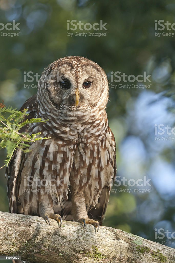 Barred Owl on Tree Branch royalty-free stock photo
