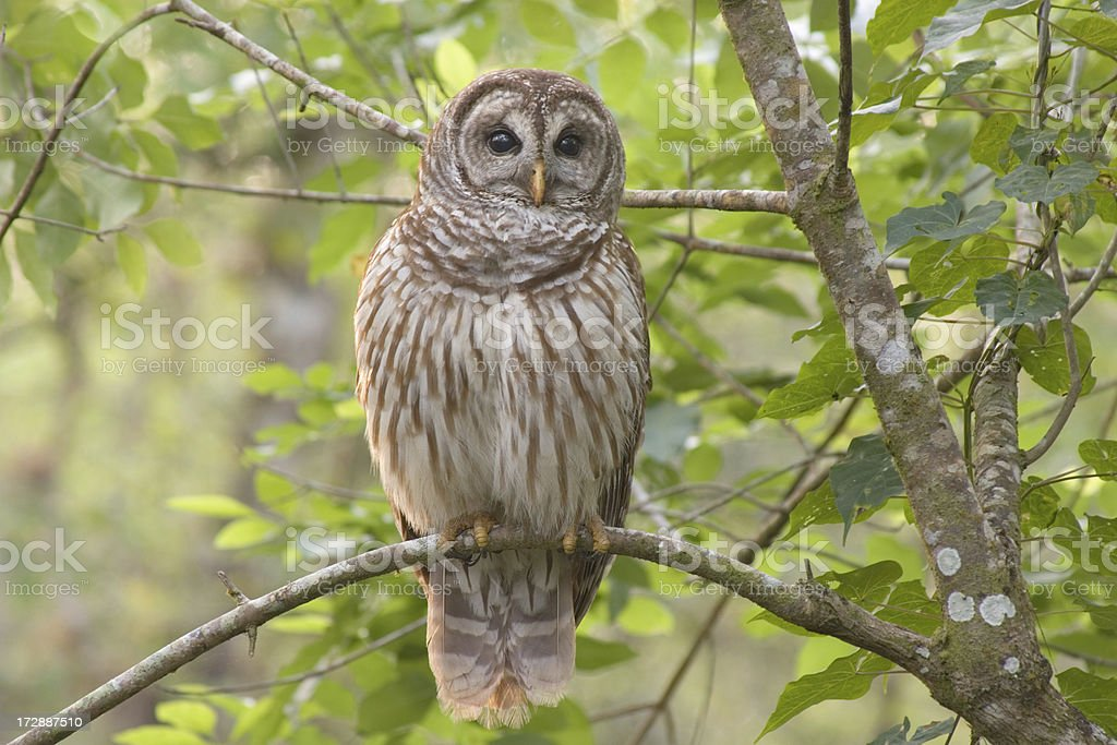 Barred Owl Perched in Forest stock photo