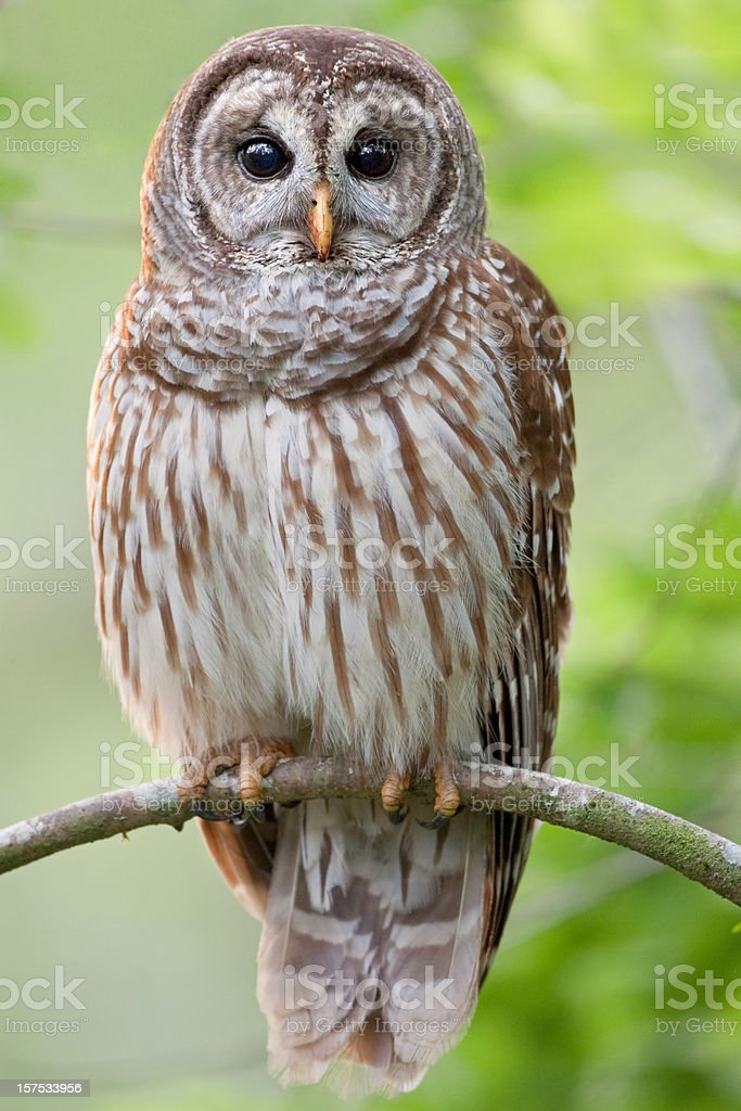 Barred Owl Perched in Tree stock photo