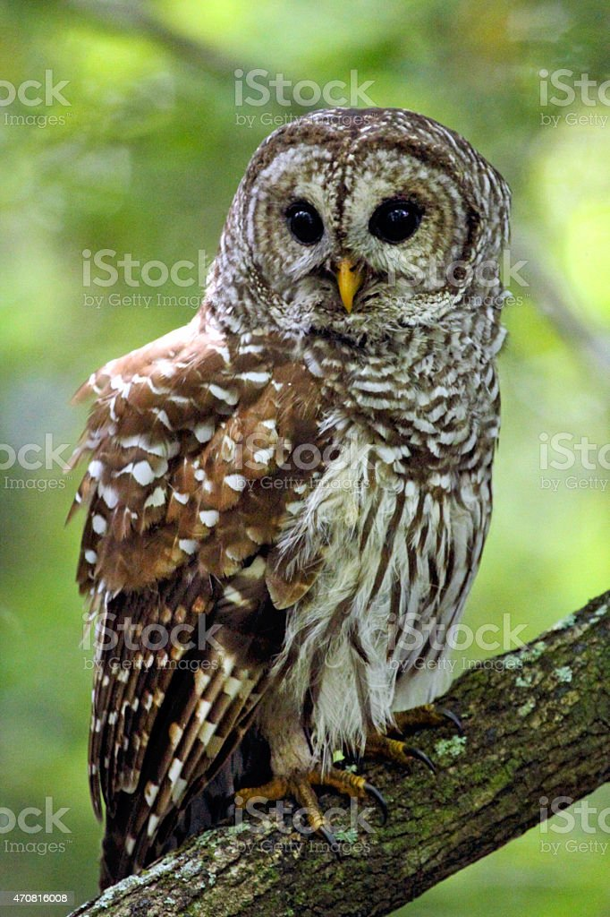 Barred owl perched on a branch in Florida's everglades. stock photo