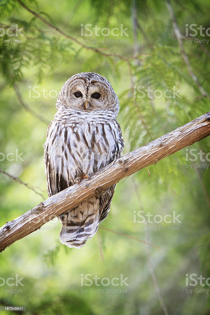 Barred owl perched on a cedar limb looking at camera. stock photo
