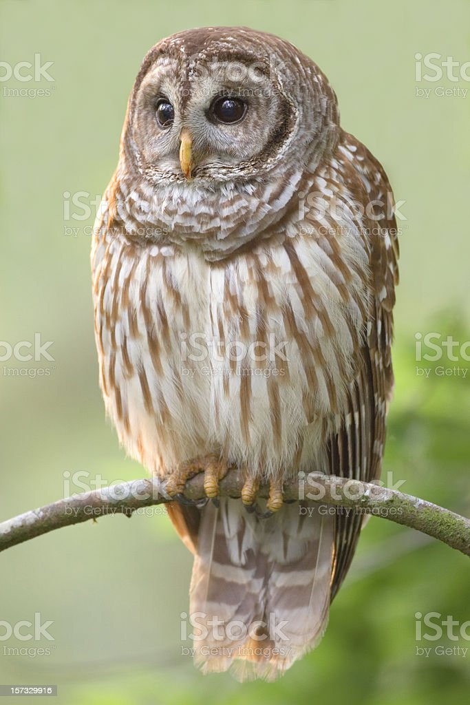 Barred Owl Perched on Branch stock photo