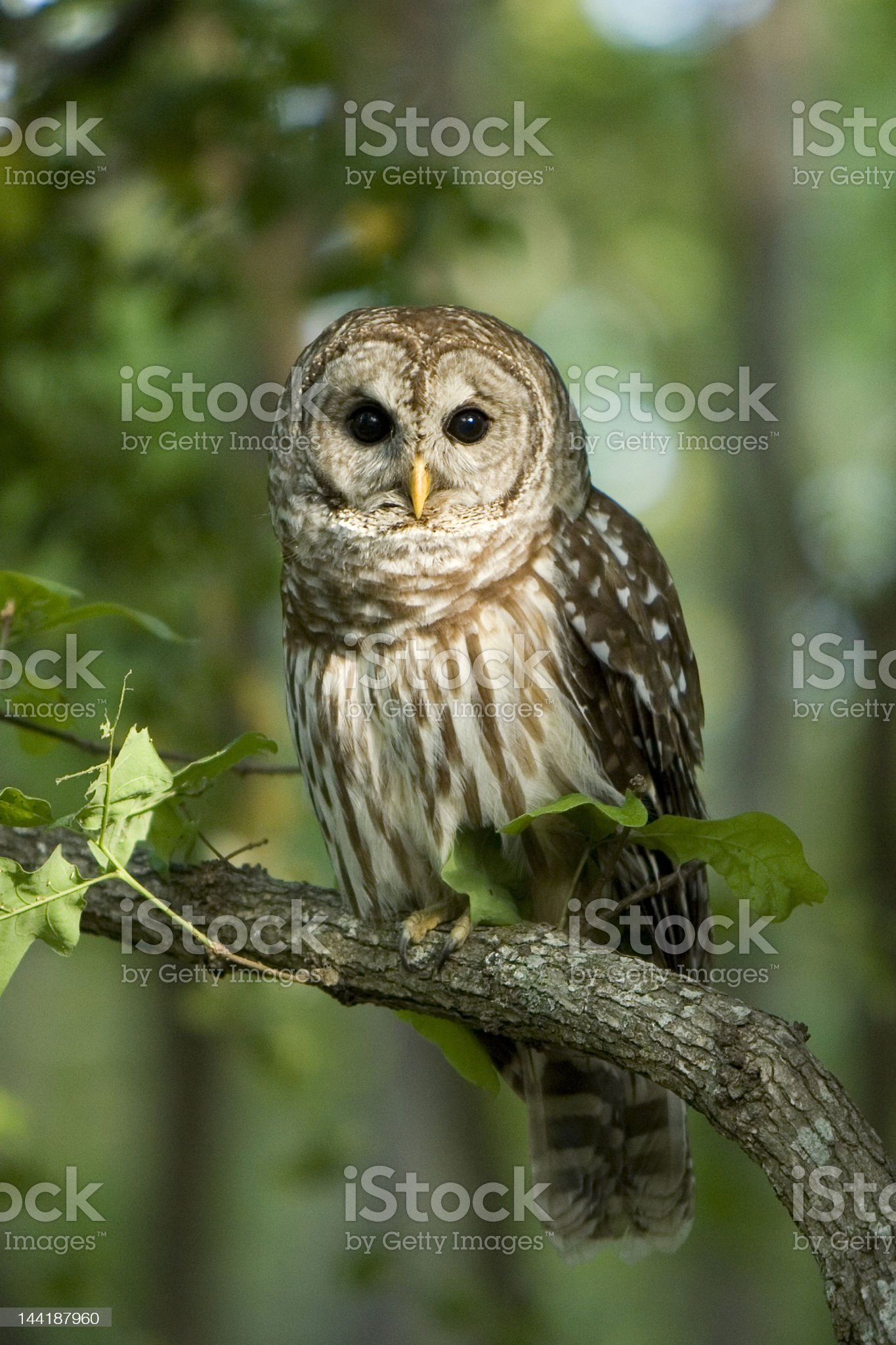 Barred Owl royalty-free stock photo