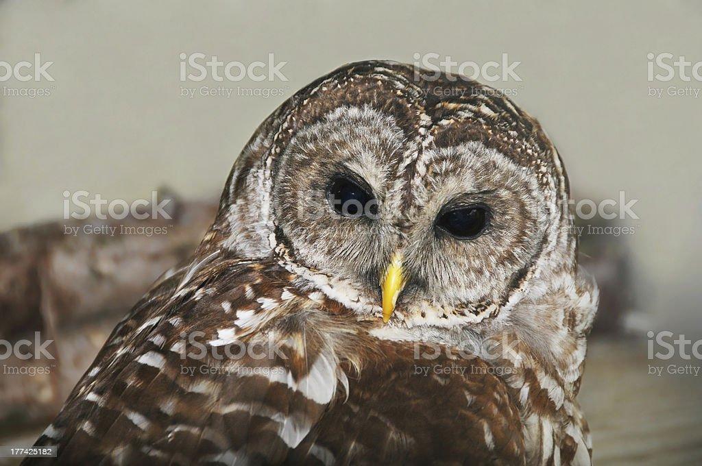 Barred Owl stock photo