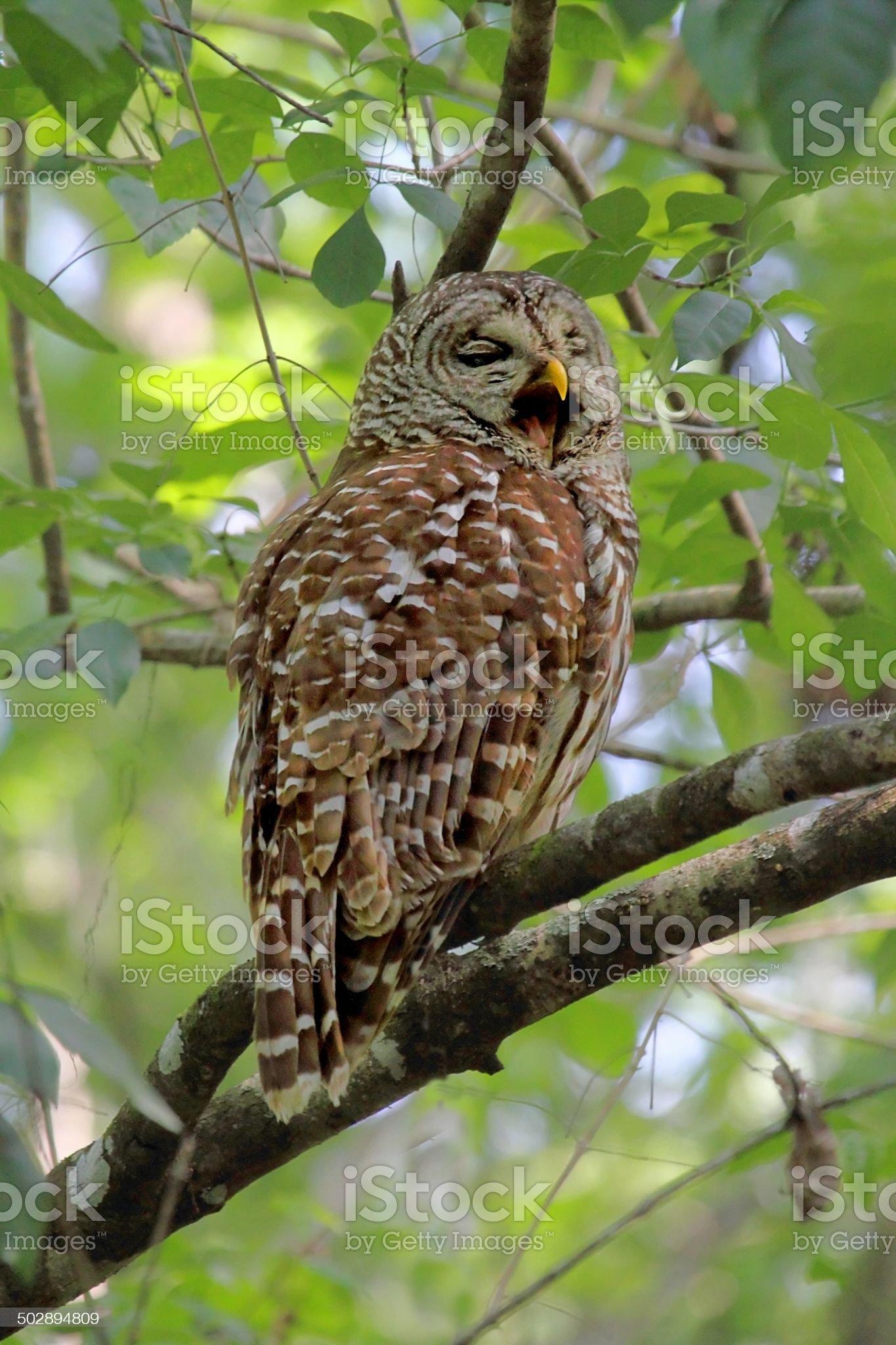 Barred Owl (Strix varia) royalty-free stock photo