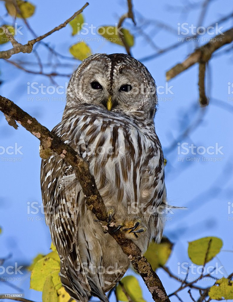 Barred Owl Posing stock photo