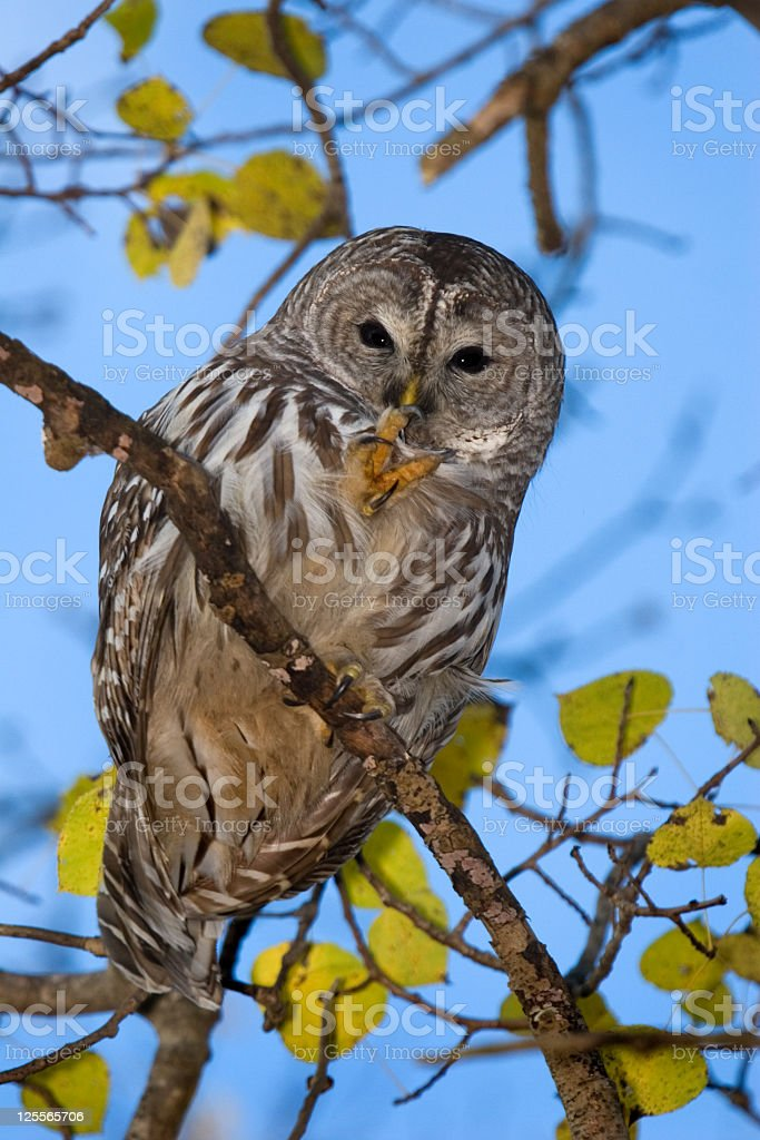 Barred Owl - Quiet please, I'm trying to sleep ! stock photo