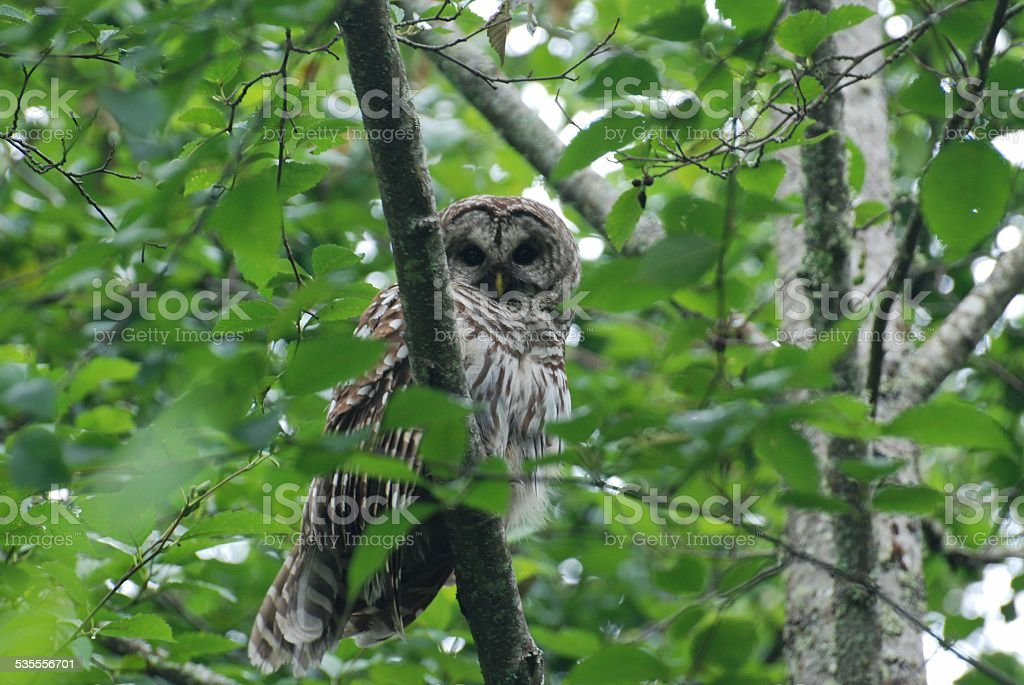 Barred Owl Sitting in a Tree royalty-free stock photo
