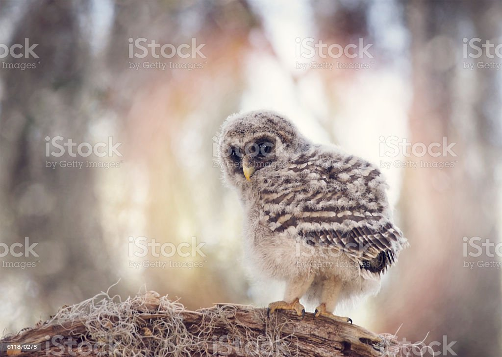 Barred Owlet  on a Branch stock photo