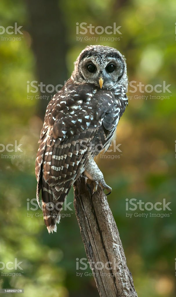 Barred owl-Strix Varia on perch stock photo