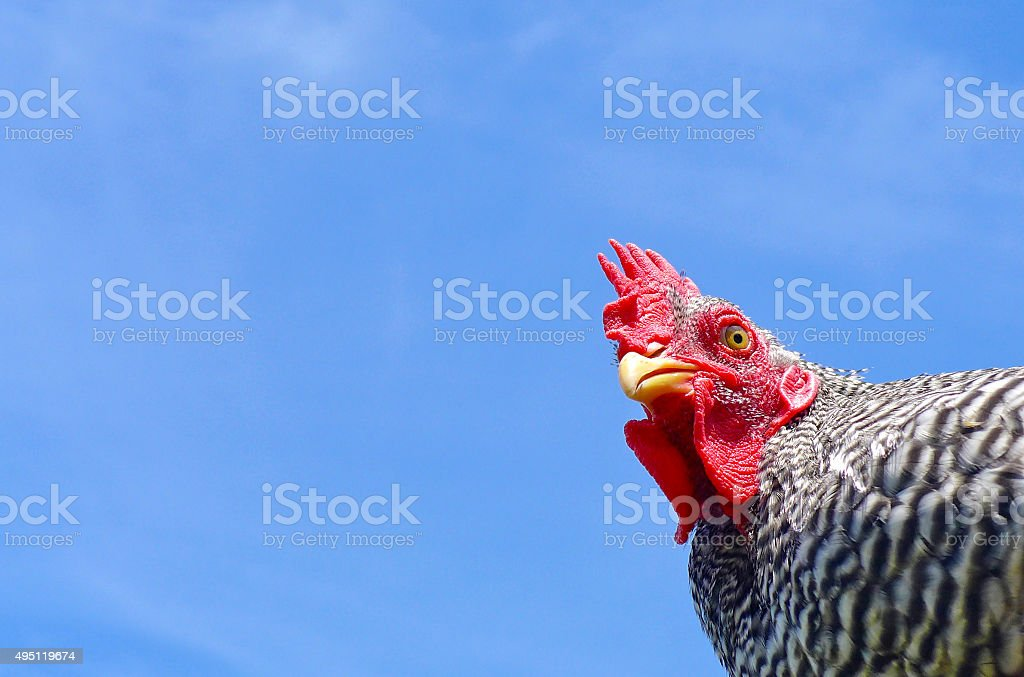 Barred rock chicken low angle with copy space stock photo