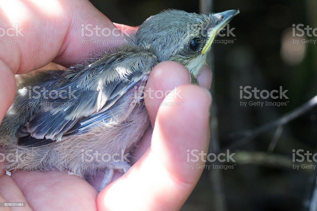 Barred Warbler (Sylvia nisoria). Nest bird stock photo