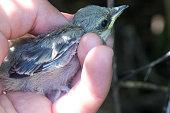 Barred Warbler (Sylvia nisoria). Nest bird