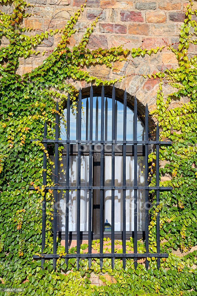 Barred window in ivy covered wall stock photo
