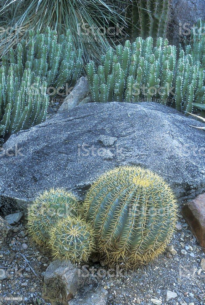 Barrel and Fairy Castle Cactus (cereus tetragonus) stock photo