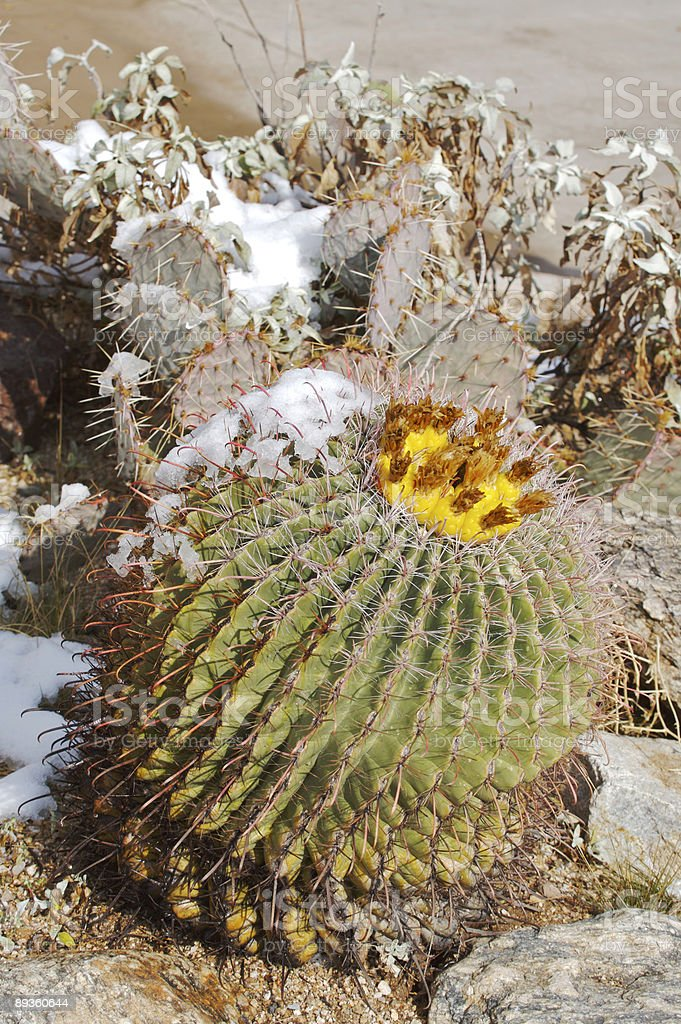 Barrel and Prickly-Pear Cactus in the Snow royalty-free stock photo