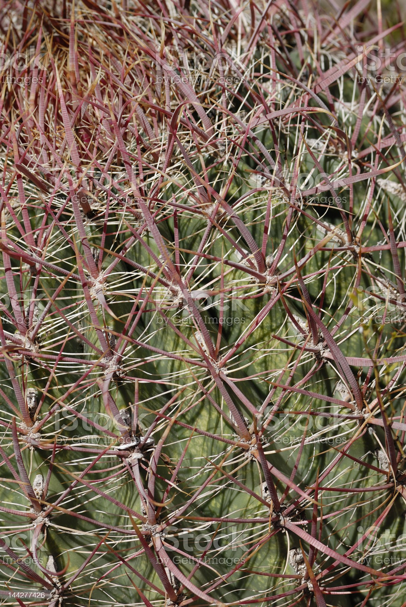 barrel cactus 1 royalty-free stock photo