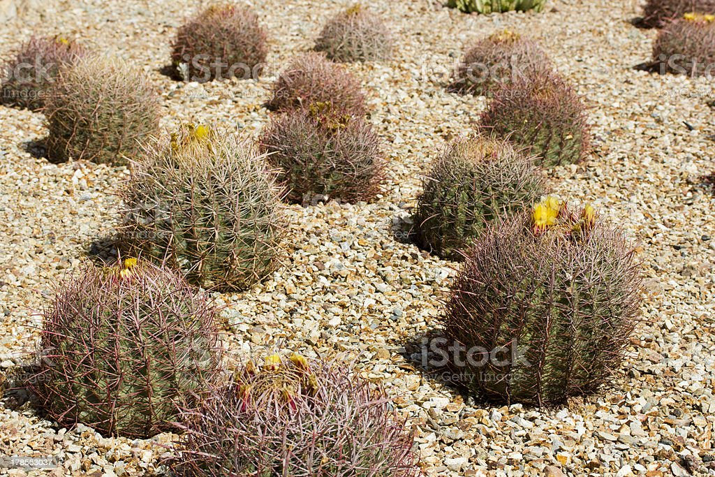 Barrel Cactus Blooming royalty-free stock photo