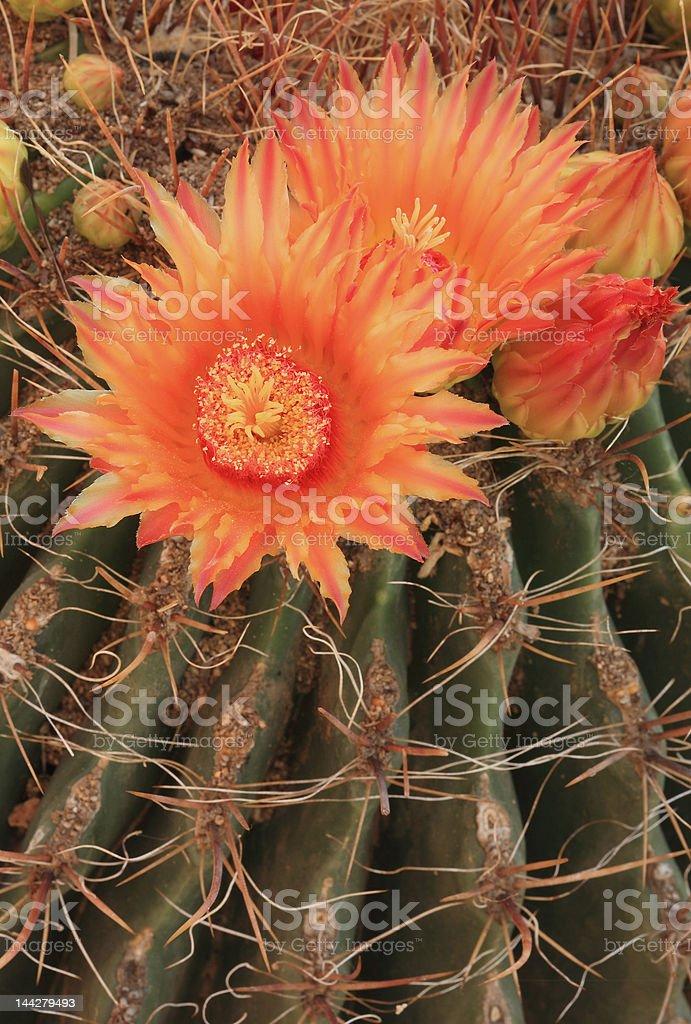 Barrel cactus blooms 1 royalty-free stock photo