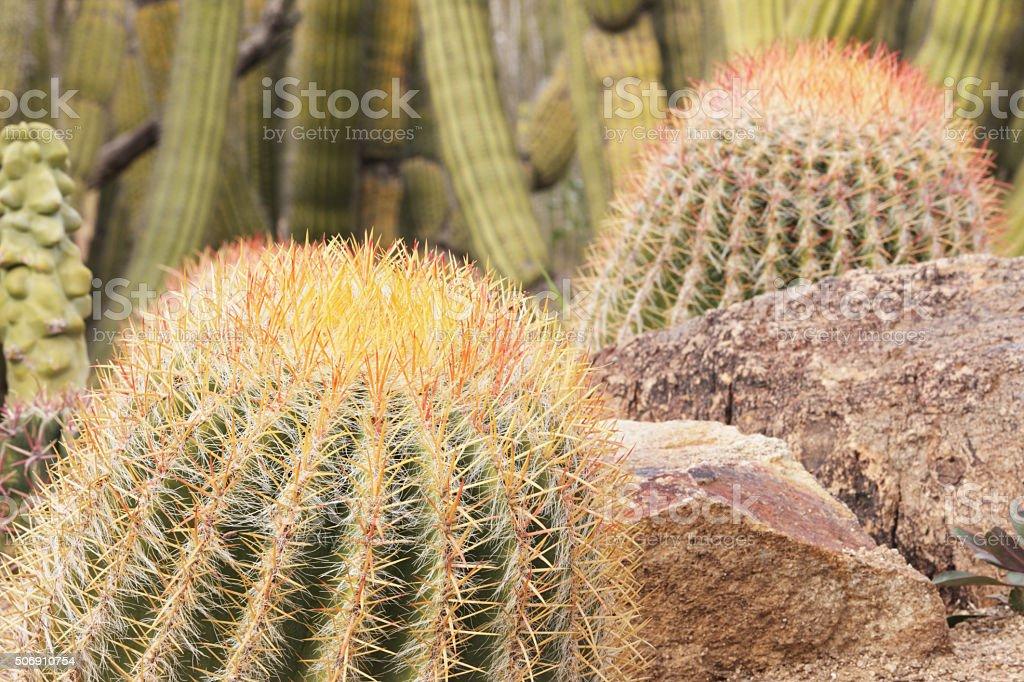 Barrel Cactus Garden Yard Landscape stock photo