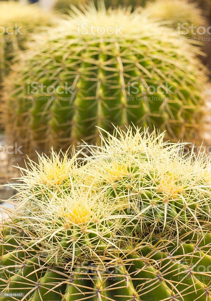 Barrel cactus growing in gravel stock photo
