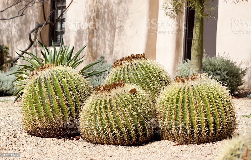 Barrel Cactus royalty-free stock photo
