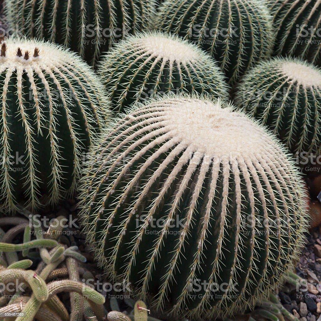 Barrel Cactus stock photo
