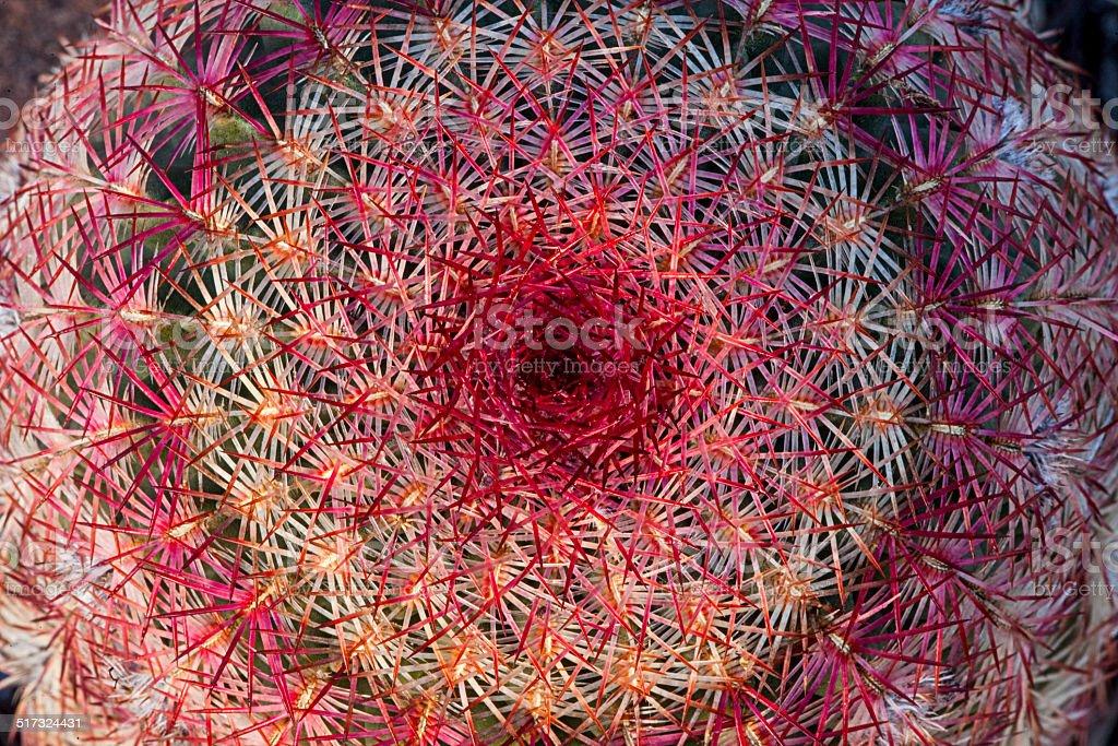 Barrel Cactus Top stock photo