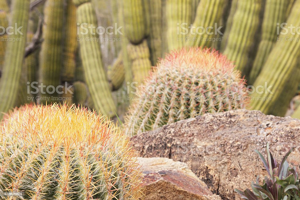 Barrel Cactus Xeriscape Garden Yard stock photo