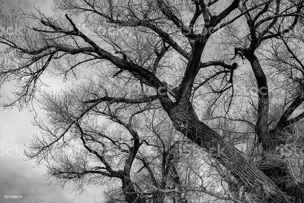 Barren Cottonwood Tree Silhouette, Olancha, CA, In Owens Valley royalty-free stock photo