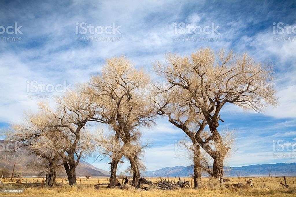 Barren Cottonwood Trees, Olancha, CA, In Owens Valley royalty-free stock photo