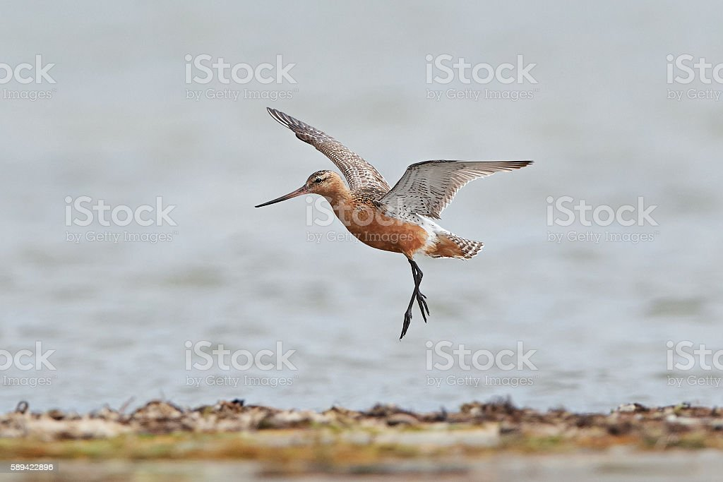 Bar-tailed godwit (Limosa lapponica) stock photo