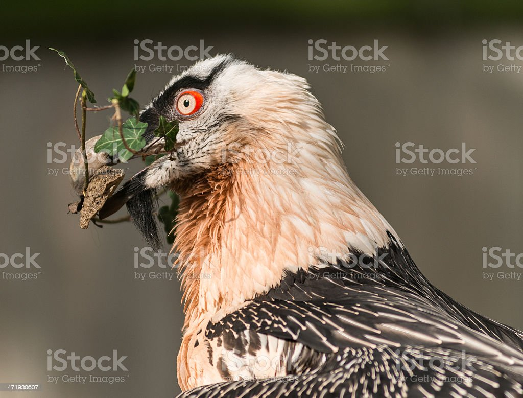 bartgeier - beaded vulture stock photo