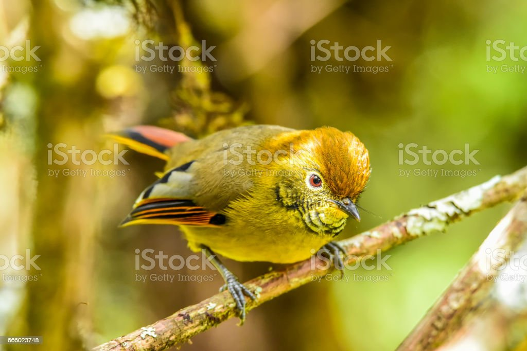 Bar-throated minla holding on branch stock photo