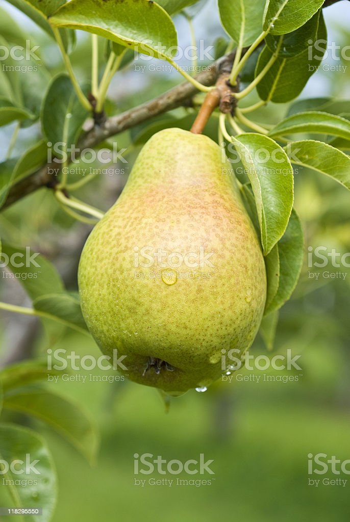 Bartlett pear hanging on a tree royalty-free stock photo