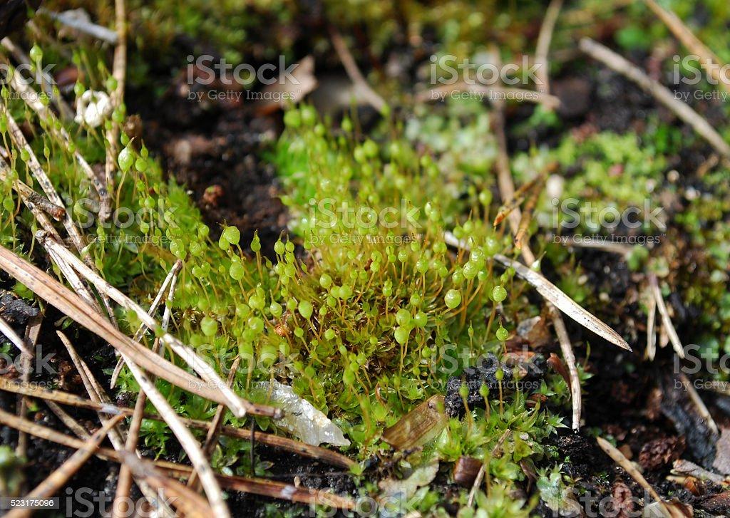 Bartramia pomiformis, the common apple-moss. stock photo