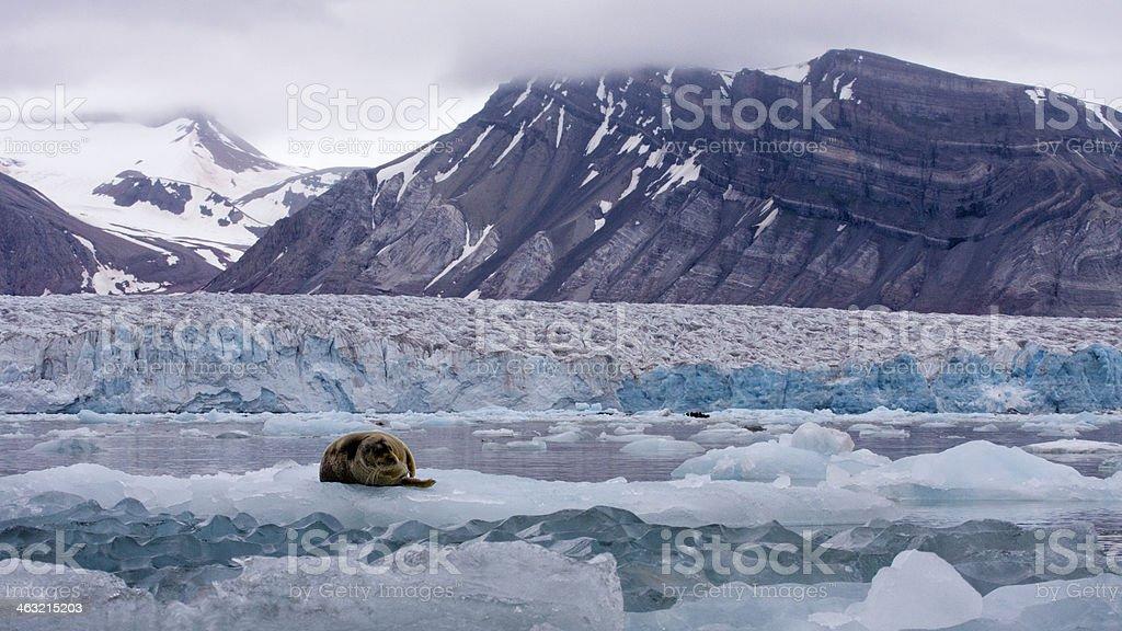 Bartrobbe, bearded seal (Erignathus barbatus) - Svalbard, Norway stock photo
