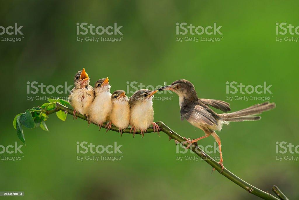 Bar-winged Prinia ( Cisticolidae )2 stock photo