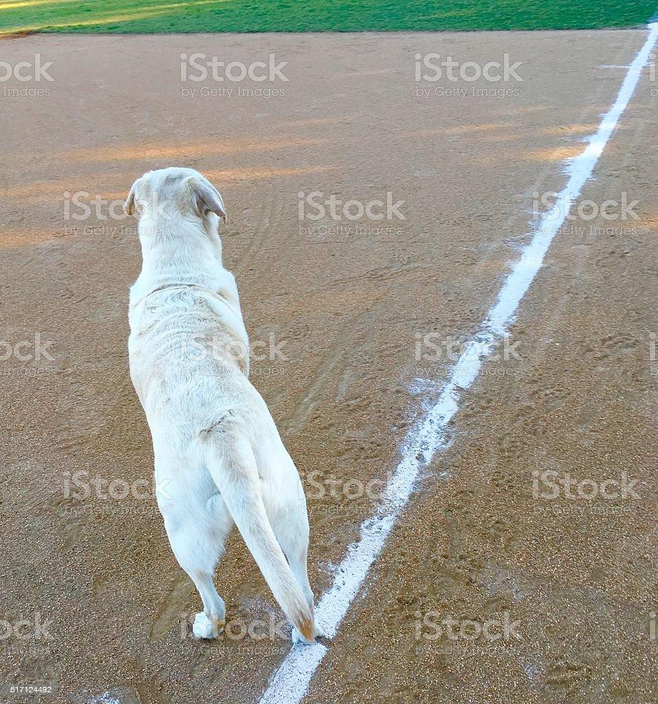 Baseball Dog stock photo