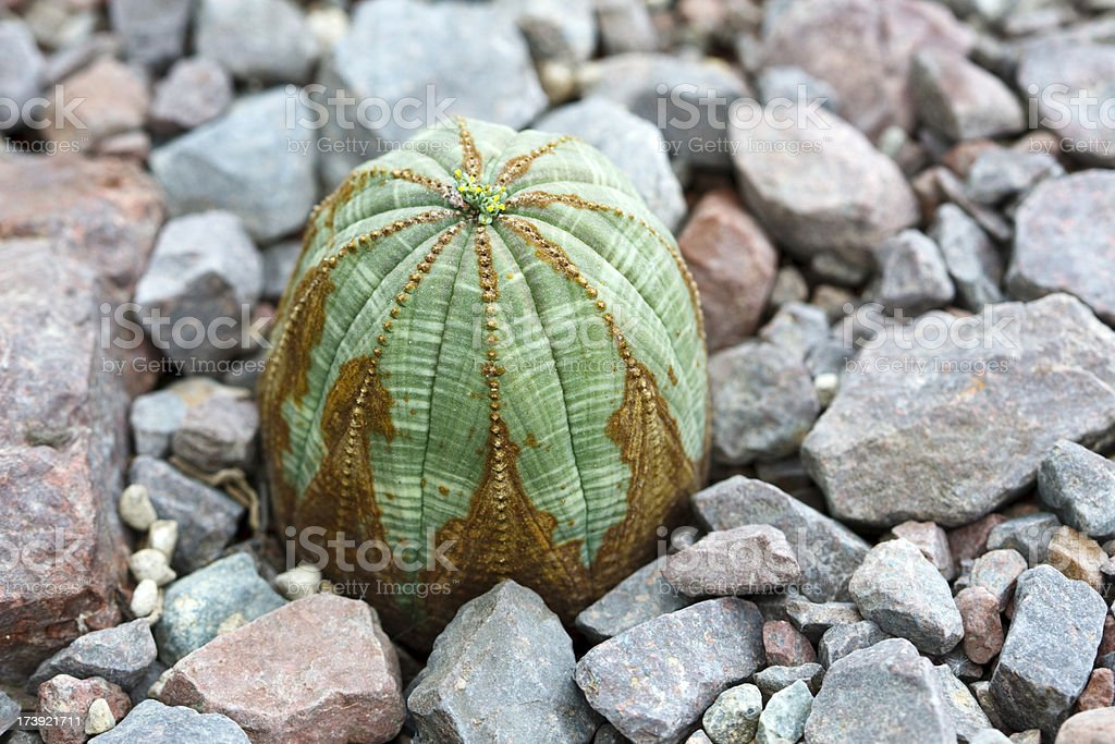 Baseball Plant (Euphorbia obesa) stock photo