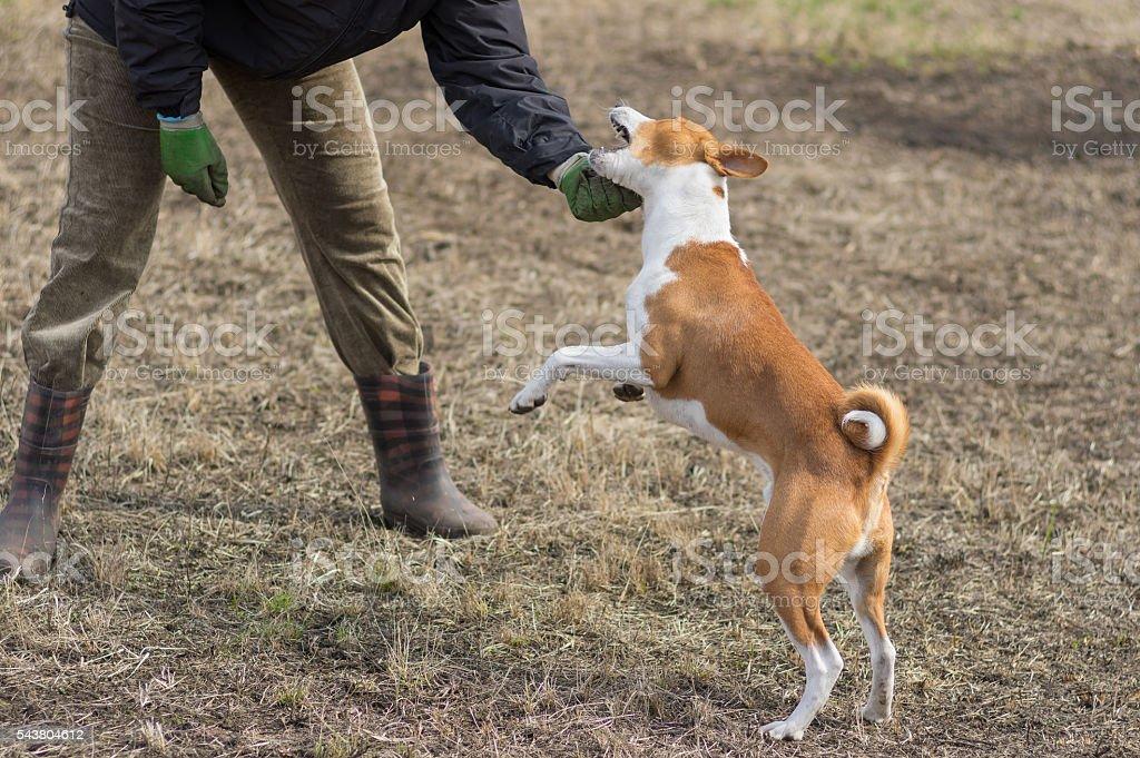 Basenji dog attacks while playing outdoors with master stock photo