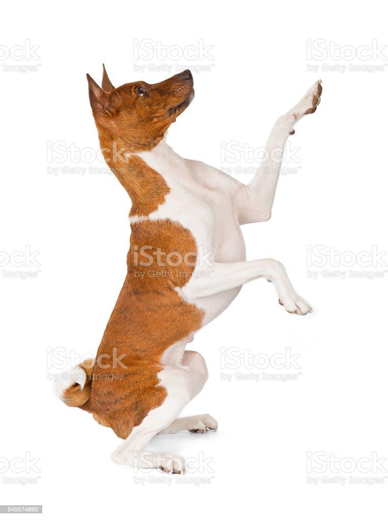 Basenji dog greeting stock photo