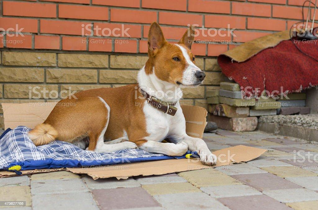 Basenji dog having rest outside the home it lives in stock photo