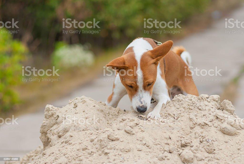 Basenji dog in hunting stage stock photo