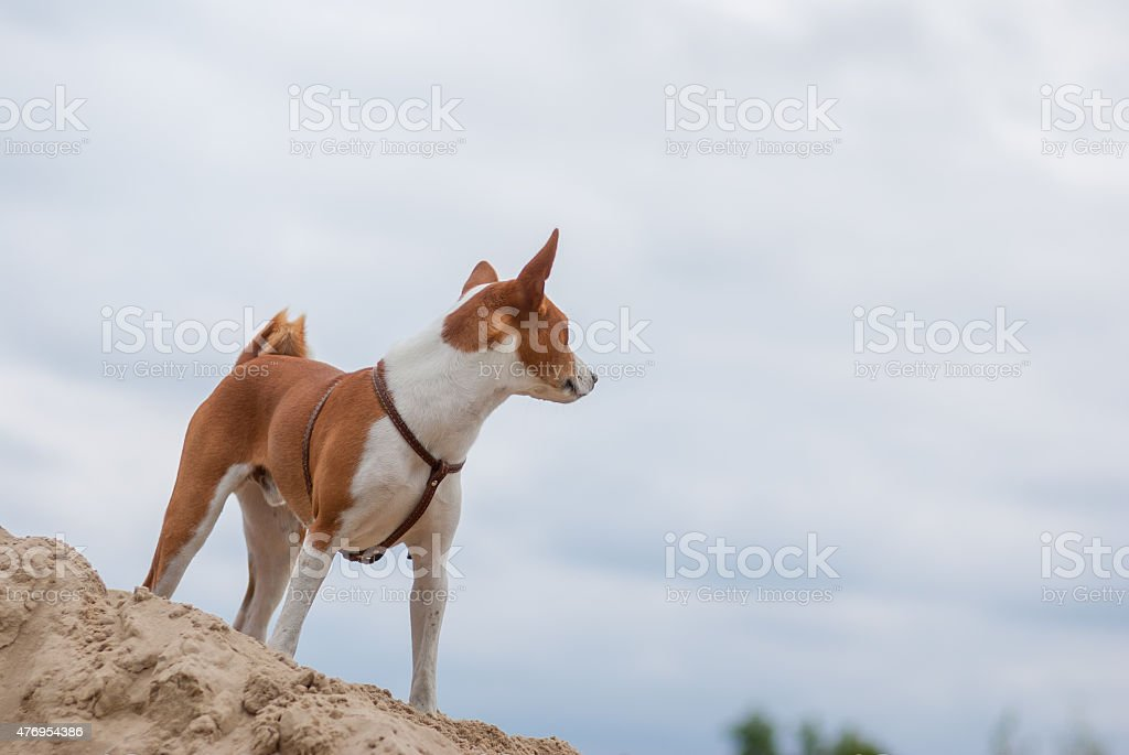 Basenji dog looking into the distance stock photo